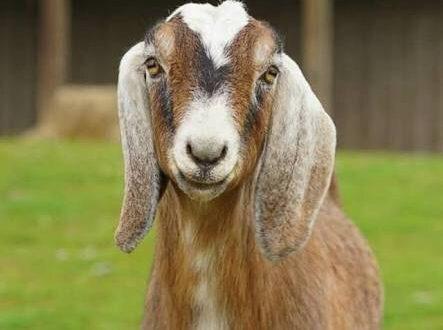nti-news-controversy-over-goat/